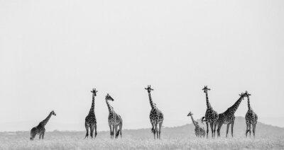 Poster Gruppo di giraffe nella savana. Kenya. Tanzania. Africa dell'est. Un ottimo esempio.