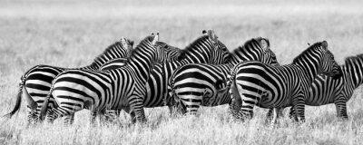 Poster Gruppo di zebre nella savana. Kenya. Tanzania. Parco Nazionale. Serengeti. Masai Mara. Un ottimo esempio.