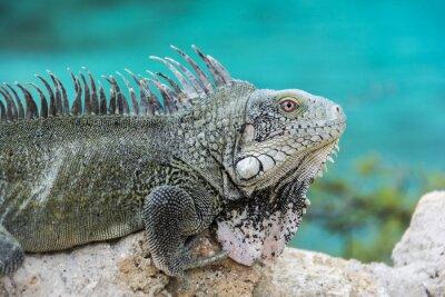 Poster Iguana a Playa Lagun, Curaçao