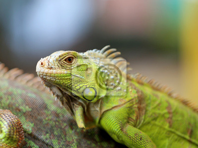 Poster iguana lucertola verde
