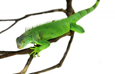 Poster Iguana verde isolato su bianco con un tracciato di ritaglio