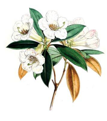 Poster Illustrazione di fiore