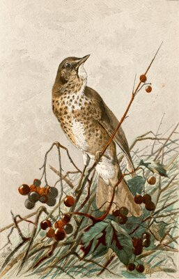 Poster Illustrazione zoologique / Turdus philomelos / Grive musicienne