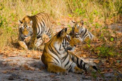 Poster India. Bandhavgarh National Park. Madhya Pradesh. Un ottimo esempio.
