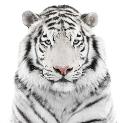 Poster Isolato tigre bianca