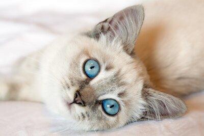 Poster Kitten Blue Eyes