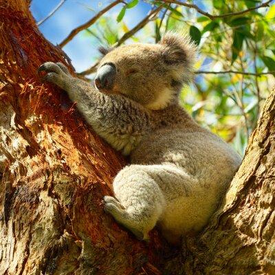 Poster Koala lungo la Great Ocean Road, Victoria, Australia