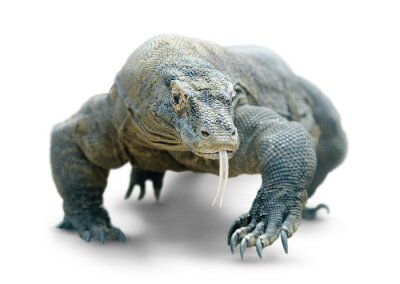 Poster Komodo Dragon isolato su bianco