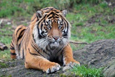 Poster La tigre di Sumatra