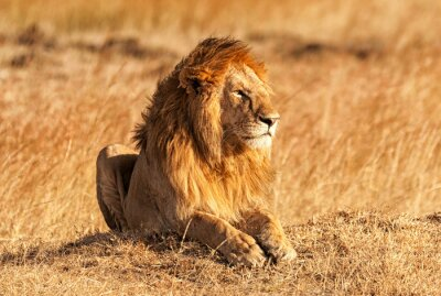 Poster Leone maschio a Masai Mara