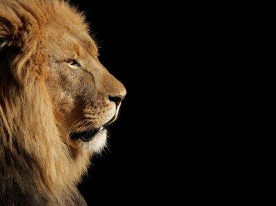 Poster Leone maschio africano su nero