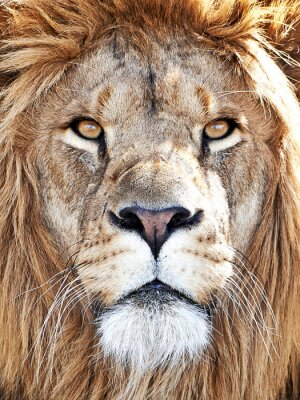 Poster Leone (Panthera leo)