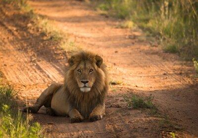 Poster Leone sulla strada africana mattina
