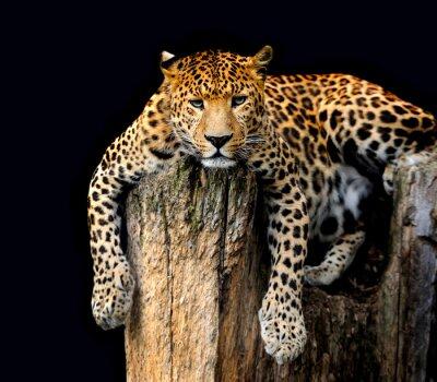 Poster Leopard Isolato su sfondo nero