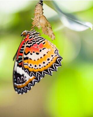 Poster Leopard lacewing farfalla uscire dalla pupa