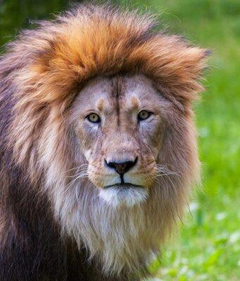 Poster Lion Portrait