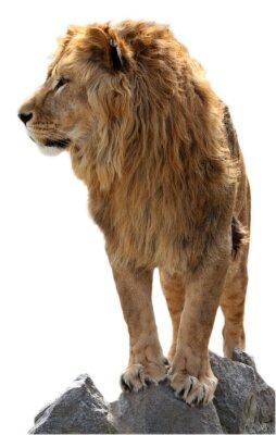 Poster Lion su un pietre
