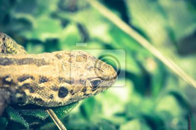 Poster Lizard (Lacertidae)