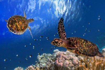 Poster Maldive Sea Turtle galleggiante