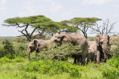 Poster mandria di elefanti in piedi tra gli alberi di acacia sul paesaggio Serengeti Savannah