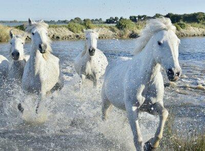 Poster Mandria di White Horses esecuzione e spruzzi attraverso l'acqua