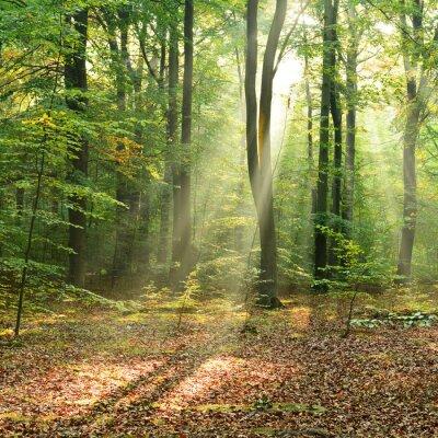 Poster Mattina nella foresta