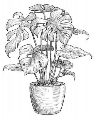 Poster Monstera illustration, drawing, engraving, ink, line art, vector