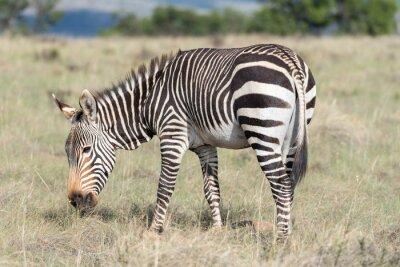 Poster Mountain Zebra pascolo