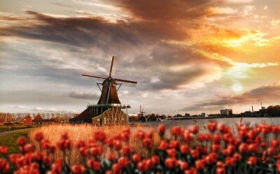 Poster Mulini a vento olandesi con i tulipani rossi chiudono la Amsterdam, Olanda