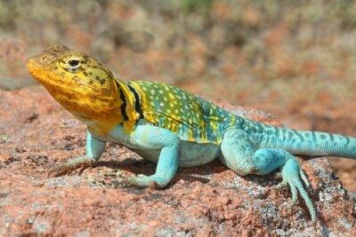 Poster Occidentale Collard Lizard (Crotaphytus collaris)