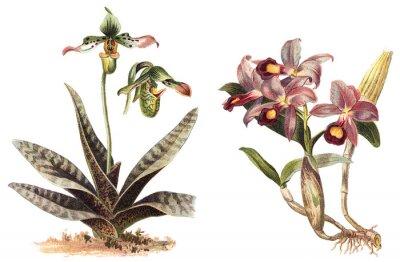 Poster Orchid - sinistra Paphiopedilum venustum e destra Cattleya Skinneri / illustrazione vintage