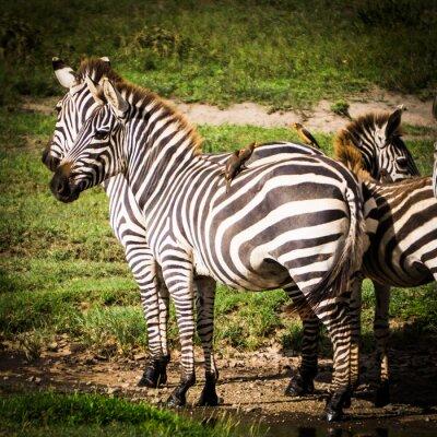 Poster oxpeckers uccelli procurarsi il cibo mangiare pidocchi sulle zebre africane e ottengono il controllo dei parassiti