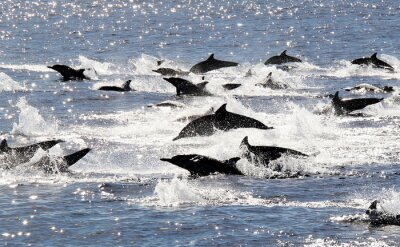 Poster Pacific Common Dolphin Stampede