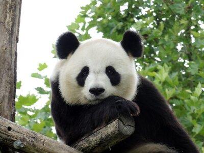 Poster Panda Geant 3