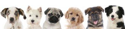 Poster Parecchi cuccioli - cani allineati teste