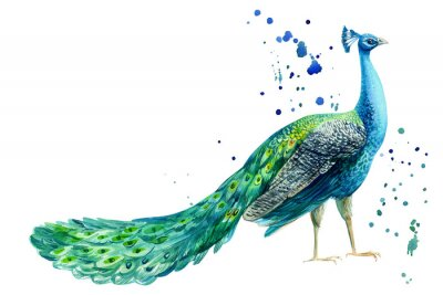 Poster peacock bird on a white background, watercolor hand drawing