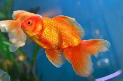 Poster pesce d'oro, pesci rossi subacquea