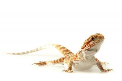 Poster Pet lucertola Bearded Dragon isolato su bianco, messa a fuoco stretta