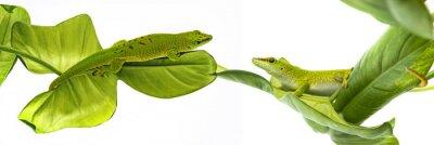 Poster Phelsuma madagascariensis - Gecko isolato su bianco