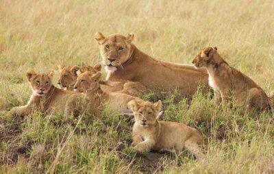 Poster Piccoli cuccioli di leone di relax