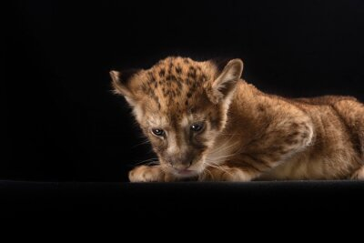 Poster piccolo cucciolo di leone su sfondo nero