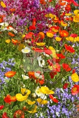 Prato di fiori con papavero colorato manifesti da muro • poster ...