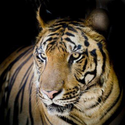 Poster Primo piano di tigre