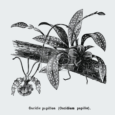 Poster Psychopsis papilio, or butterfly orchid, also known as Oncidium papilio, is a flower in the family Orchidaceae. Vintage encyclopedia illustration, engraving, scientific botany , plant clip art.