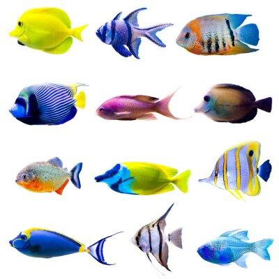 Poster Raccolta di pesci tropicali
