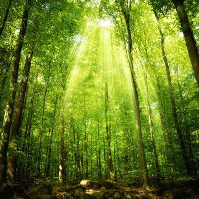 Poster Raggi di sole nel bosco di faggio