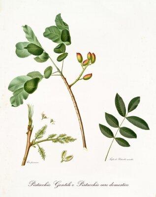 Poster ramo di pistacchio con foglie e altri elementi botanici. Tutta la composizione è isolata su sfondo bianco. Vecchia illustrazione botanica dettagliata di Giorgio Gallesio pubblicata nel 1817, 1839