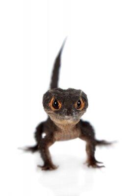 Poster Red-Eyed scinchi coccodrillo, tribolonotus gracile, su bianco