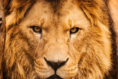 Poster Ritratto del primo piano di un leone africano