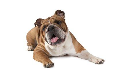 Poster Ritratto di Bulldog inglese su sfondo bianco
